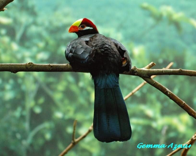 Turaco violáceo: Musophaga violacea