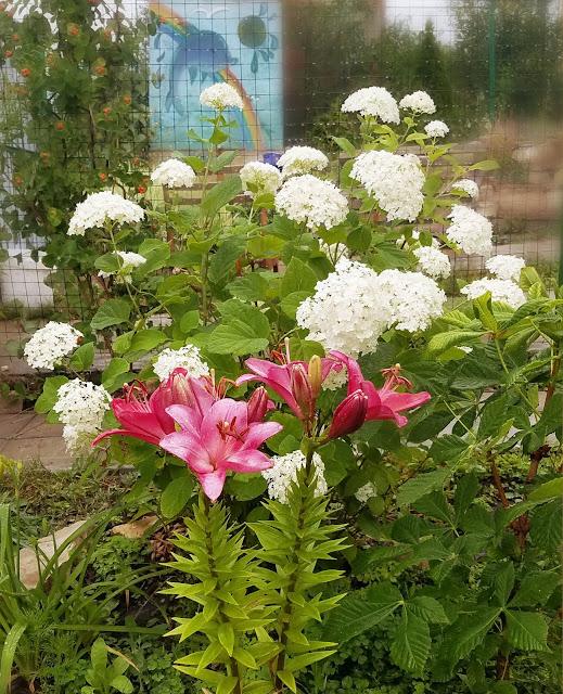 сейчас цветёт гортензия и зацвела лилия...
