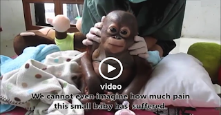 Baby Orangutan Budi Crying When Receives Loving Care After Suffering Year - Video