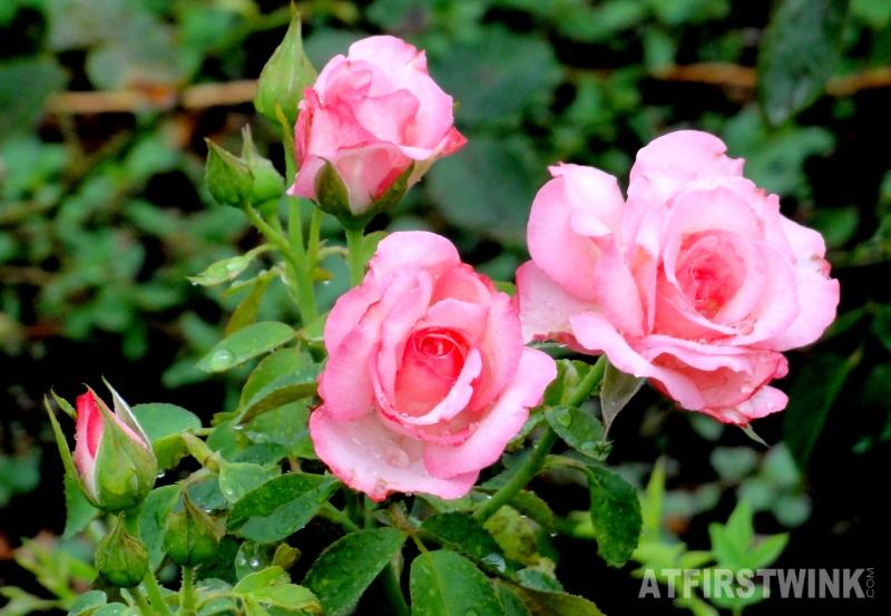 Shinjuku Gyoen 新宿御苑 pink roses