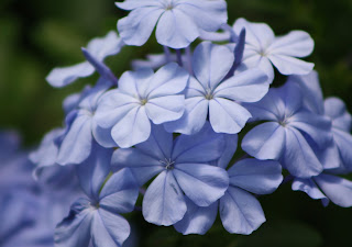Plumbago Vivero Growers Nursery Austin