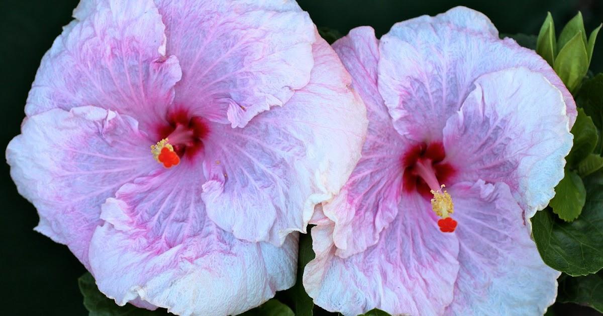 florez nursery hibiscus rosa sinensis 39 lady flo 39. Black Bedroom Furniture Sets. Home Design Ideas