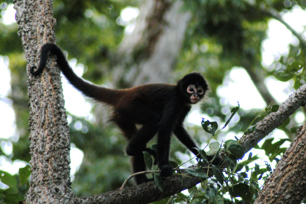 Spider Monkey | The Life of Animals