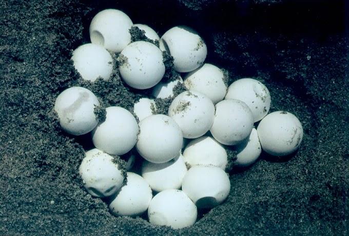 Policía Federal incauta más de 2 mil huevos de tortuga en Jalisco