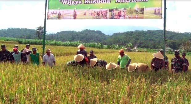Desa Banjarsari Kulon Banyumas Panen Padi Demplot