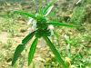 Leucas cephalotes Dronapushpi, Guma, Mediclin benefits in Ayurveda