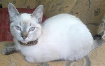 gato-siames-caracteristicas-raza