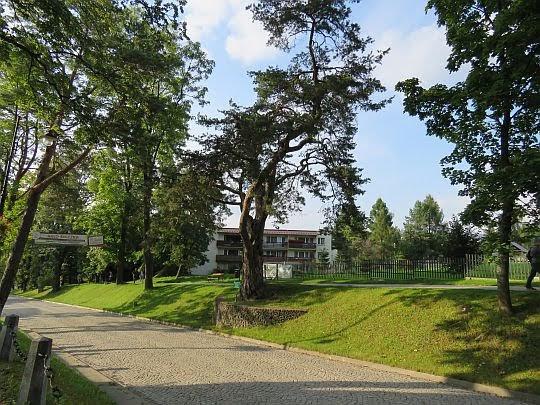 Sosna - pomnik przyrody przy ul. Orkana.