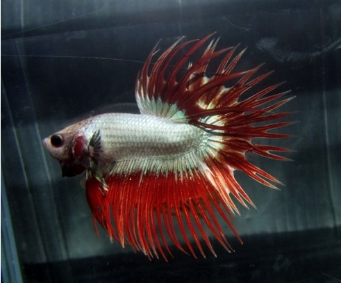 white betta splendens
