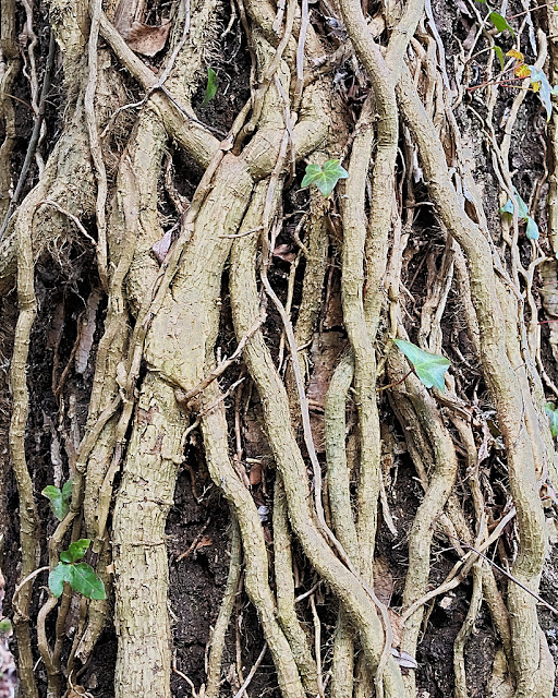 Tree trunk completely covered with thick ivy tendrils