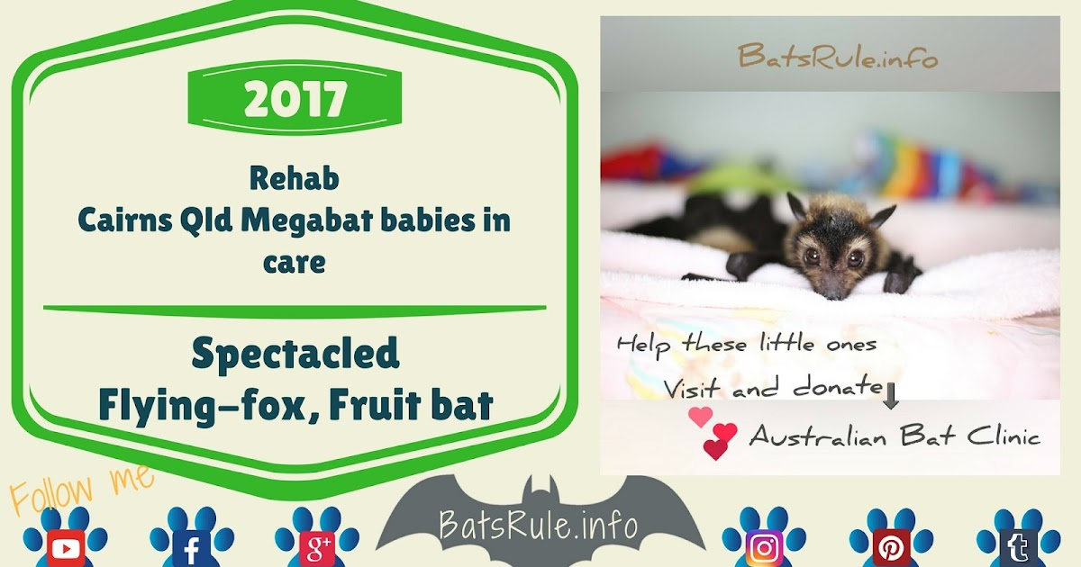 Rehab | Cairns Qld Megabat babies Spectacled in care, Pteropus conspicillatus
