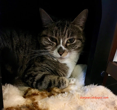 Tabby in her bed at Purringtons