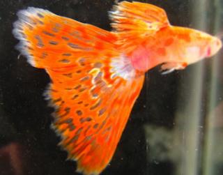 Ikan guppy dalam perdagangan pada dikala ini sangat menggiurkan sehingga banyak mulai bermu Kabar Terbaru- MENGENAL JENIS IKAN GUPPY