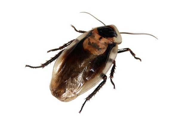 cockroach-صرصار