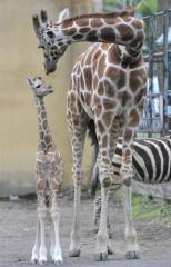おびひろ動物園で16年ぶりにキリンの赤ちゃん誕生!