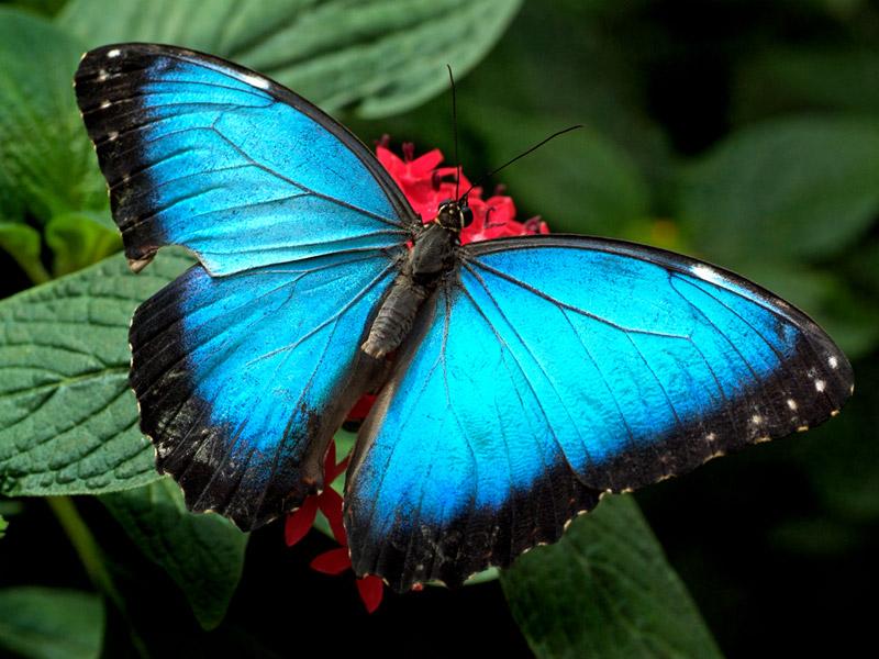 Butterfly Desktop Wallpapers, Butterflies