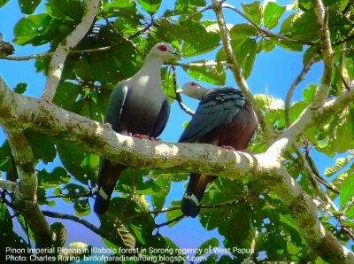 Late March to April are the mating season of Pinon Imperial Pigeon in rainforest of West Papua
