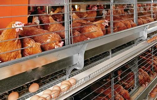 Cara Rahasia Meningkatkan Produksi Telur Ternak