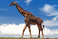Жираф - удивительное животное