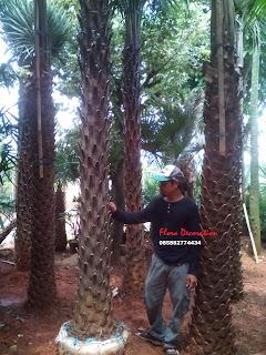 harga jual pohon palm kopernis alba