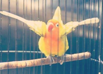 Cara Mengatasi Lovebird Birahi Simpel dan Ampuh