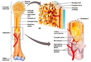Jenis,Fungsi dan Struktur Tulang Serta Ragam dan Perkembangan Tulang Dalam Sistem Gerak Manusia