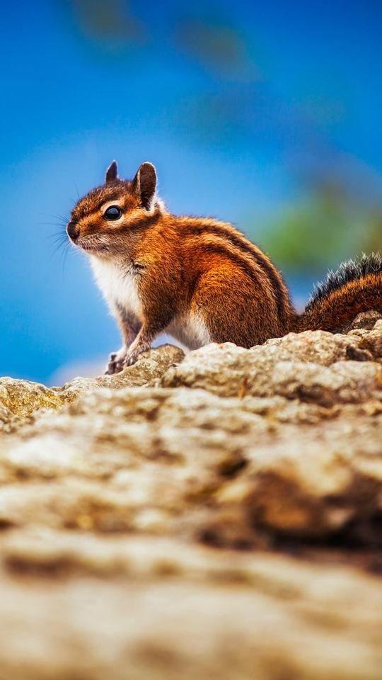 Beautiful Chipmunk Pic 540x960 Wallpaper
