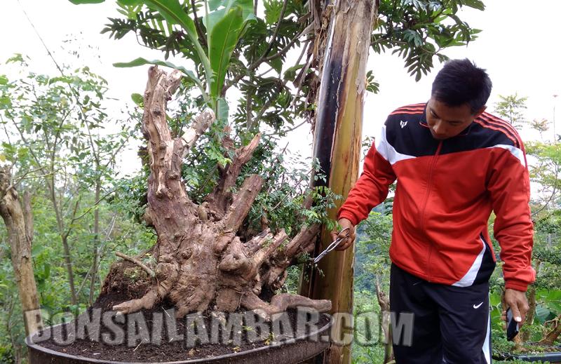 Bahan Bonsai Asli Dari Lampung Barat Bonsai Lambar