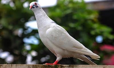 Arti Mimpi Burung Merpati Lengkap Tafsir Angka Togel