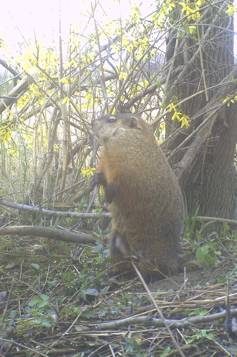 Backyard Beasts: Woodchuck V: Groundhogs in the Mist