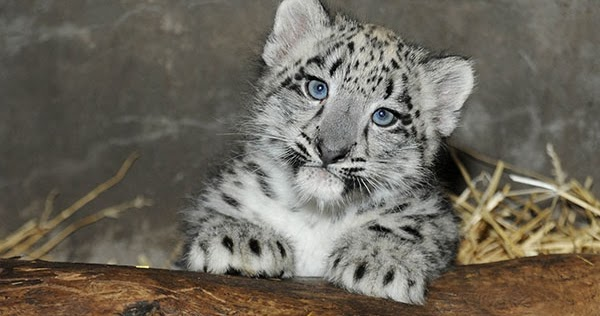 White Wolf Baby Snow Leopard Makes Its Debut At Chicago