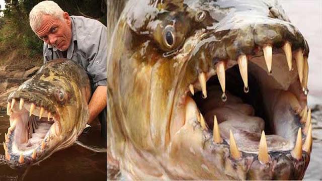 ikan goliath