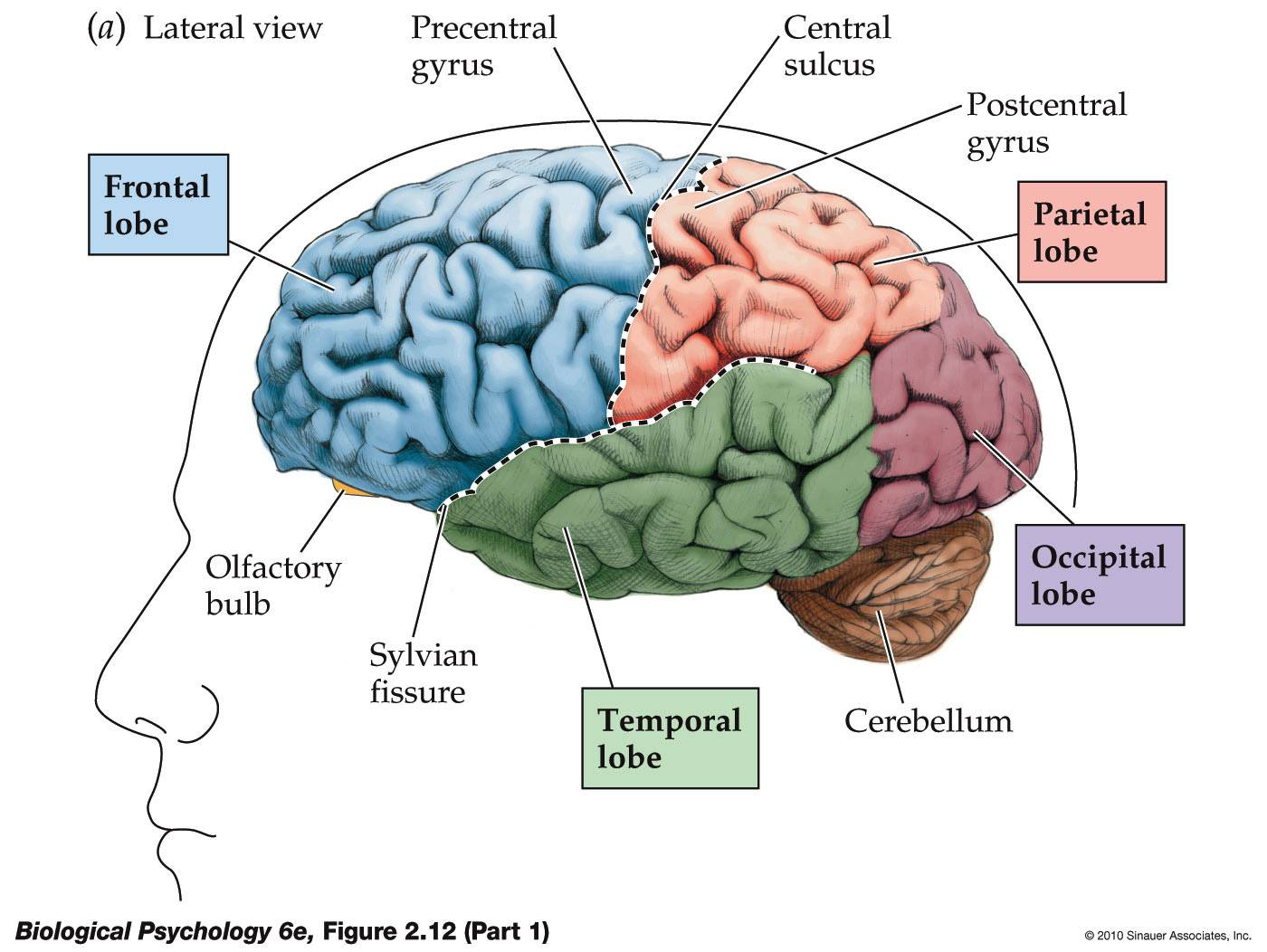 frontal lobe functioning and its relationship to cognition meaning