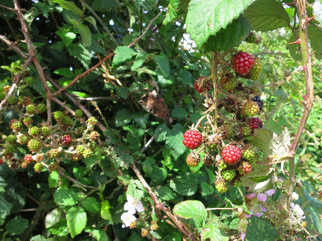 Blackberries ripening.