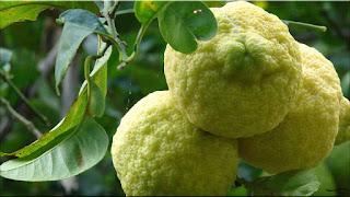 gambar buah jeruk sitrun,lemon