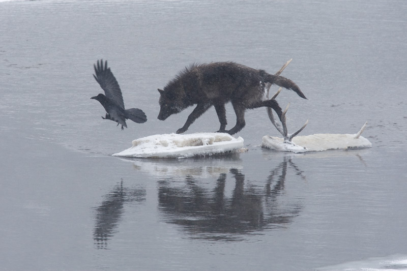 wolf and raven relationship