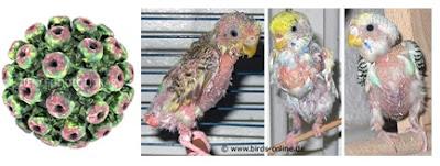 Virus polyoma dan ayam yang terserang polyoma