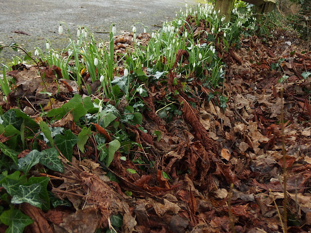 Snowdrops have hopped over the garden fence