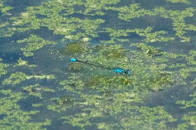 Skimming Bluet (Enallagma germinatum)