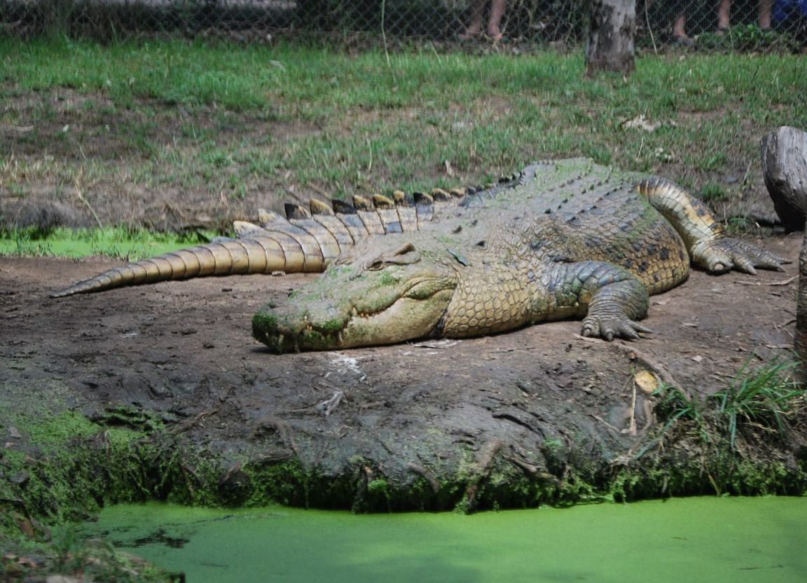 How Do Crocodiles Have Sex 32