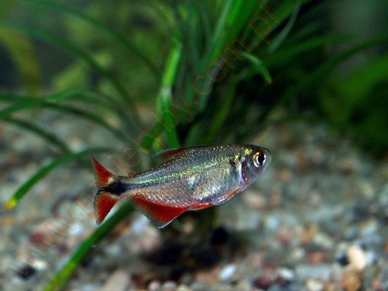 Ikan Yang Peka Terhadap Garam Ikan Atau Garam Akuarium-Hemigrammus caudovittatus