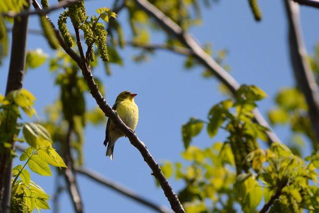 American Goldfinch birdin Pembroke, Ontario Photo by Stacey McIntyre-Gonzalez Copyright©