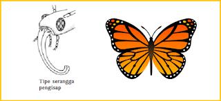 contoh mulut serangga tipe penghisap adalah kupu kupu