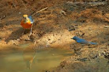 cara merawat burung,harga anis merah jantan dan betina,bakalan,