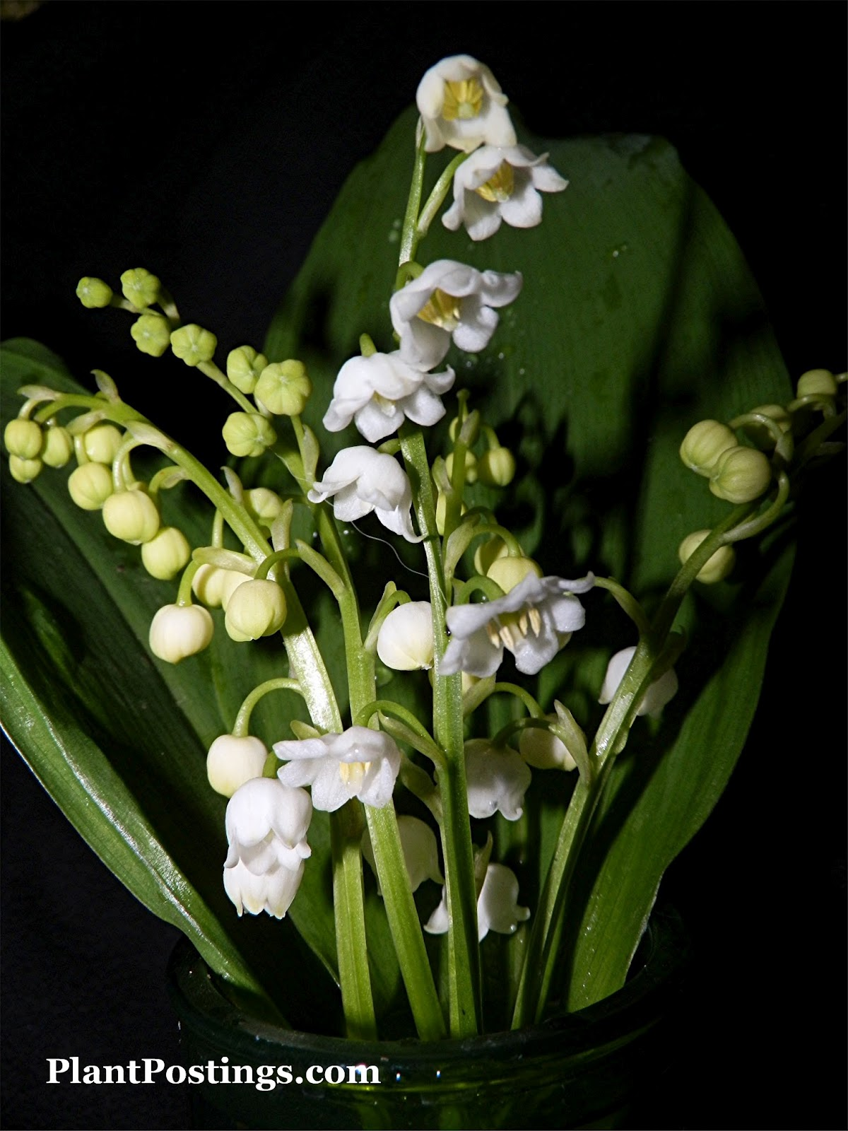Plantpostings plant of the month lily of the valley plantpostings reviewsmspy