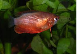 Gurami Thicklip, Ikan Hias cantik