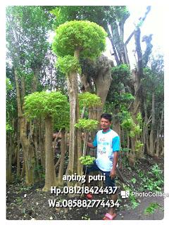 Tukang tanaman hias penjual pohon bonsai anting Putri dengan harga sangat murah cocok untuk di tanam di area Taman minimalis