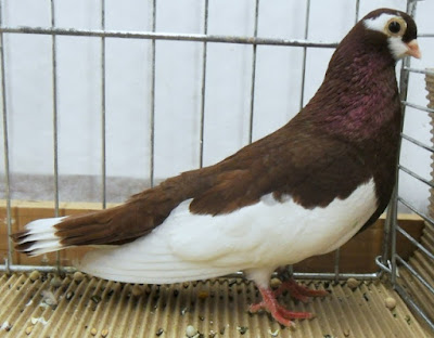 Ribbon Tail Tumbler - color tumbler pigeons