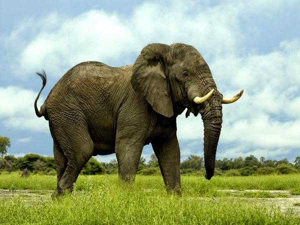 المعلومه الحقيقه عن حيوان الفيل( Elephantidae (  Loxodonta africana