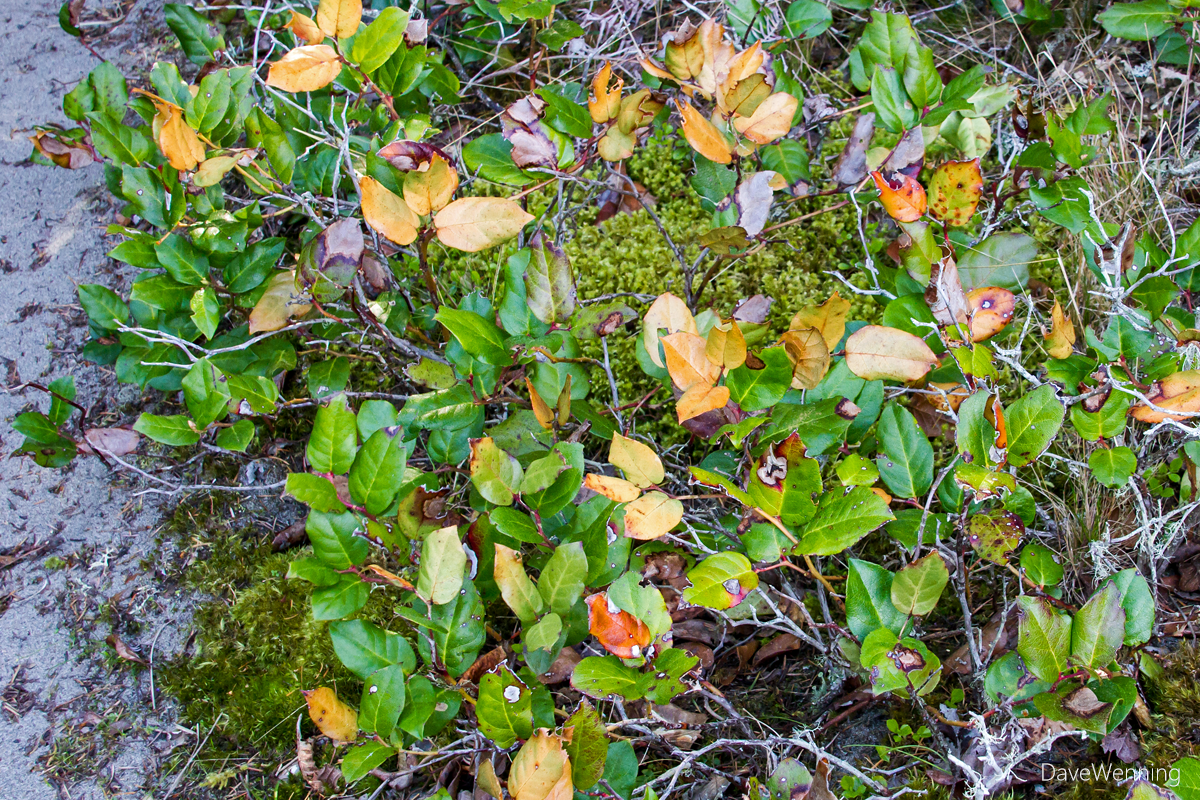 Salal, Sand Dune Trail, Deception Pass State Park